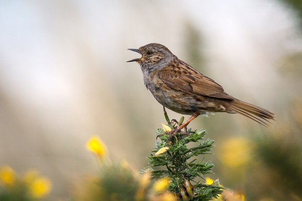 A dunnock (Prunella modularis) singing from the top of a gorse bush
