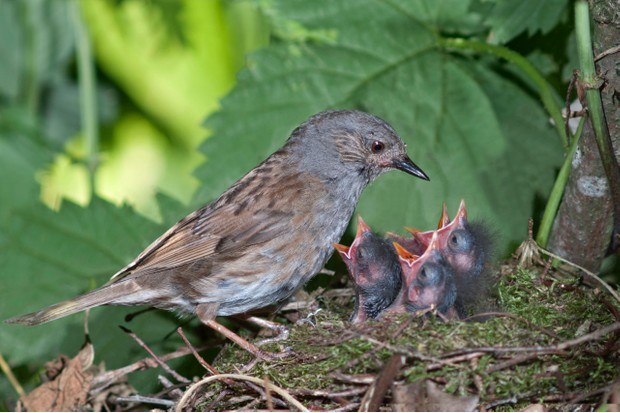 A parent dunnock feeding its young at the nest.
