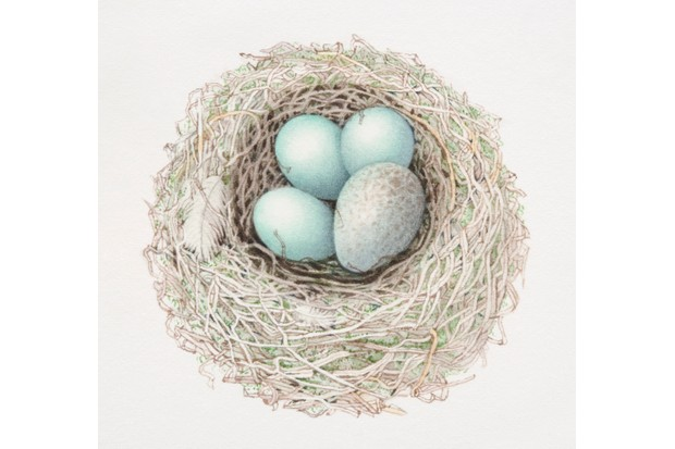An illustration of a cuckoo's egg alongside three dunnock eggs in a nest