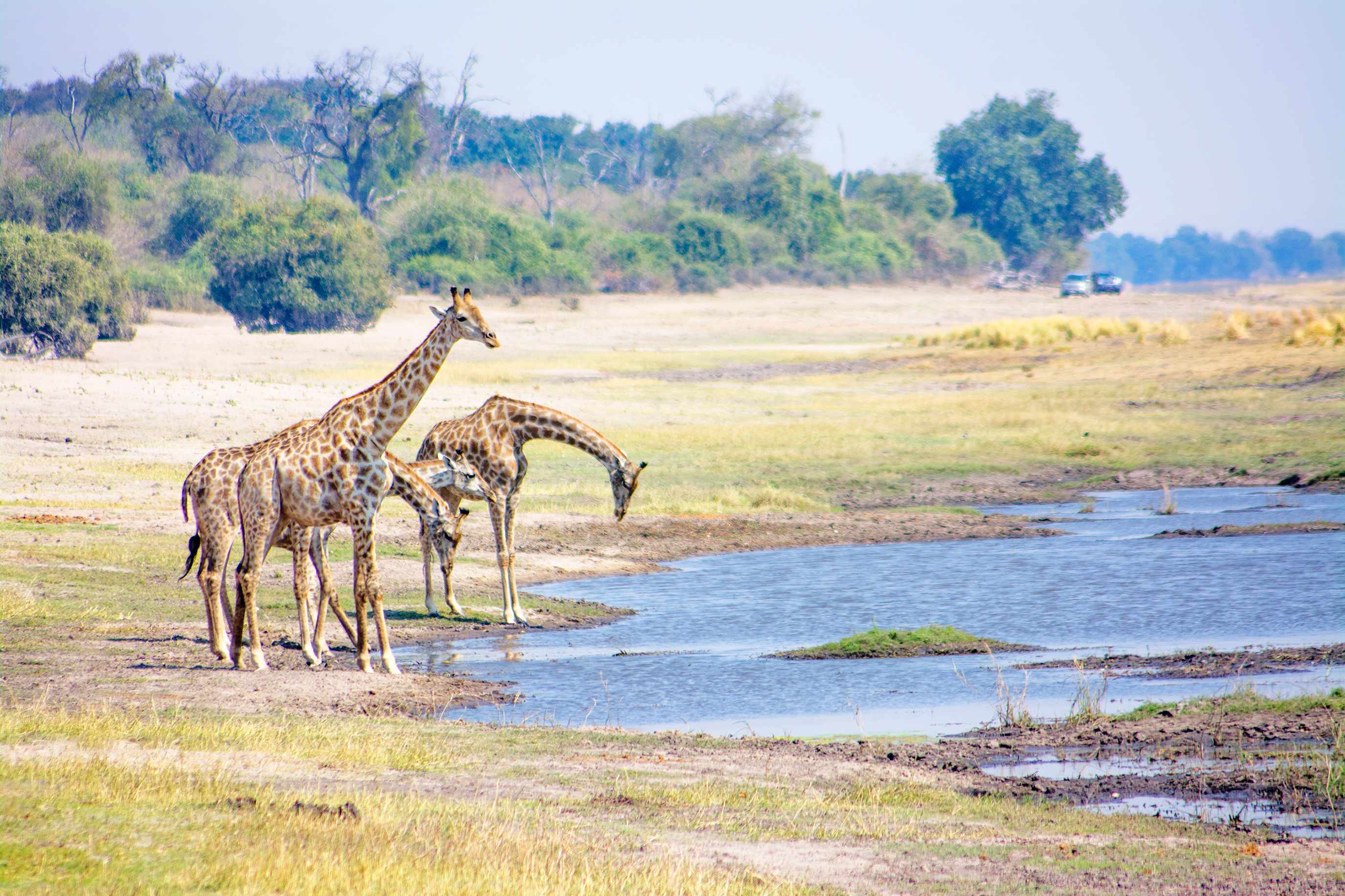 Four giraffes drinking from the Zambezi River © Yolanda Van Niekirk