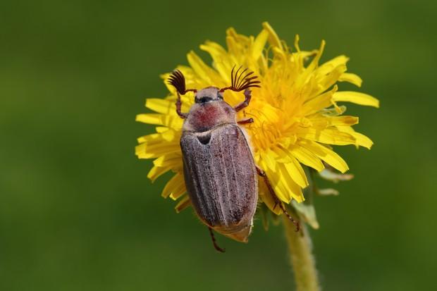 Cockchafer aka may bug or doodlebug