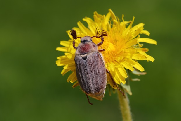 7 amazing cockchafer facts - Discover Wildlife