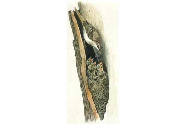 Illustration of a short-toed treecreeper nest
