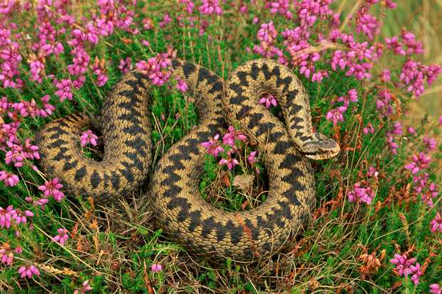 Adder (Vipera berus) amongst pink heather flowers in the rural countryside of the UK.