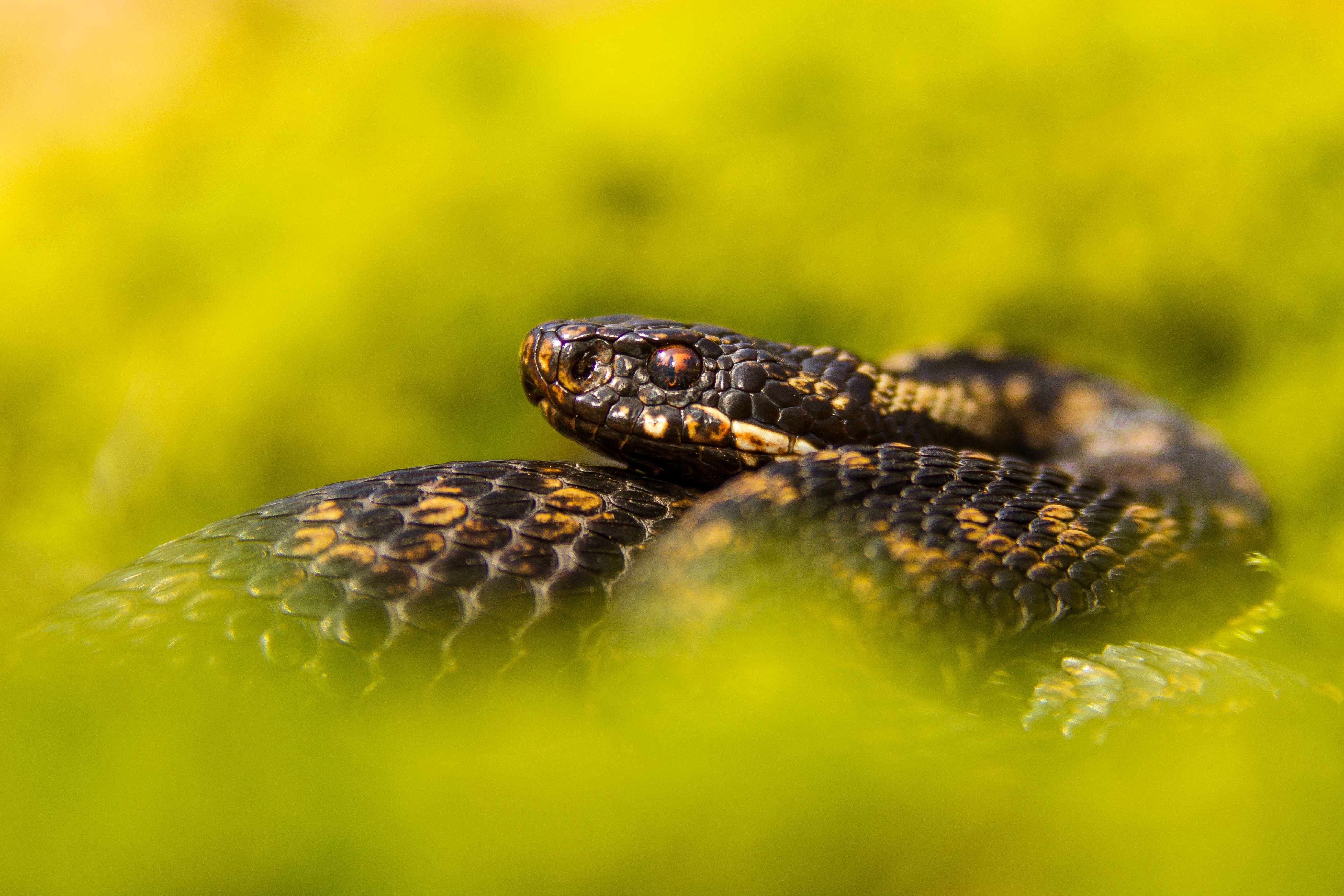 Adder coiled up in moss. © Mark Smith/Getty