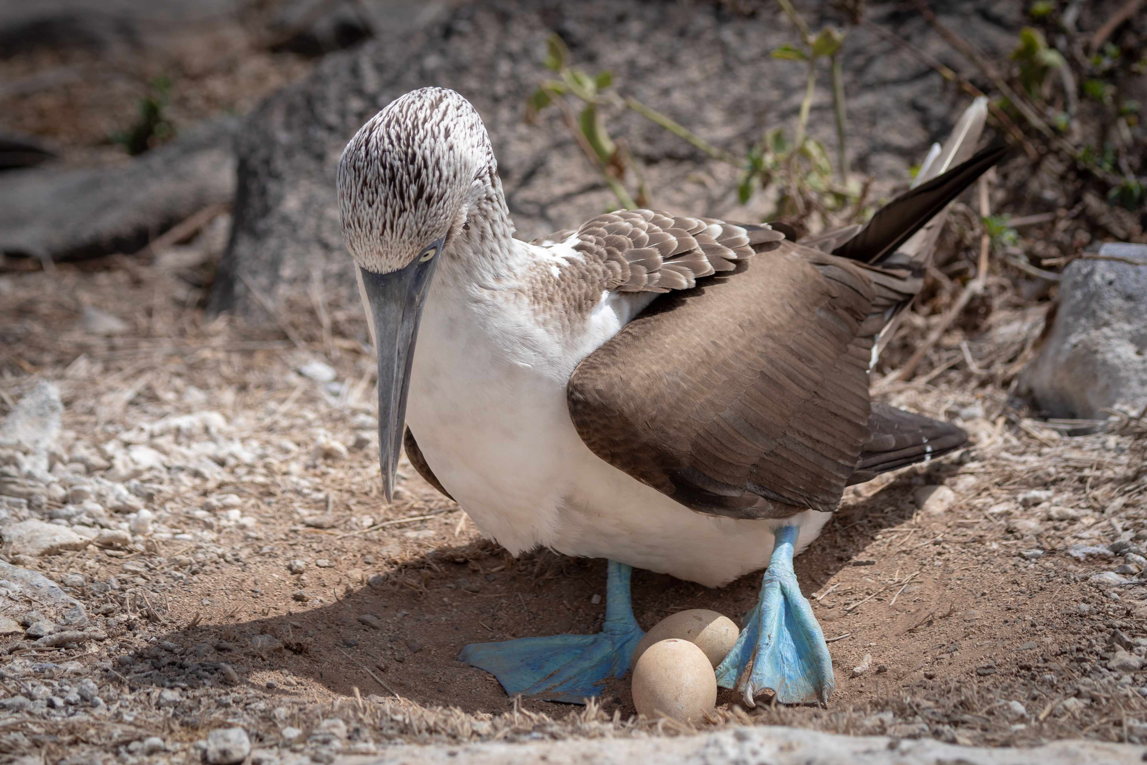 Blue-footed booby with eggs. © James Stone/Getty