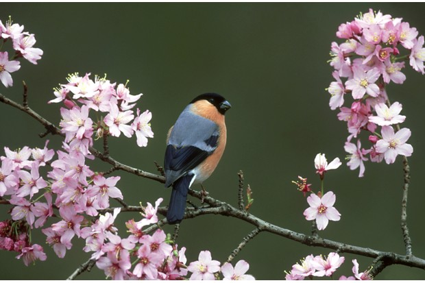 Male Eurasian bullfinch (Pyrrhula pyrrhula) surrounded by cherry blossom