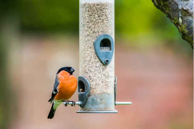 Male Eurasian bullfinch (Pyrrhula pyrrhula) on a bird feeder