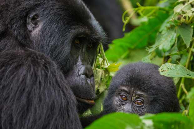Female mountain gorilla with a baby in Bwindi Impenetrable Forest National Park, Uganda © Andrey Gudkov / Getty