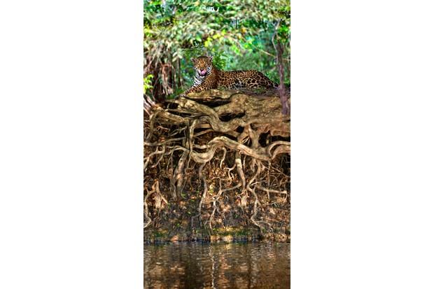 Jaguar (Panthera onca) resting at the riverside in the Pantanal, Brazil