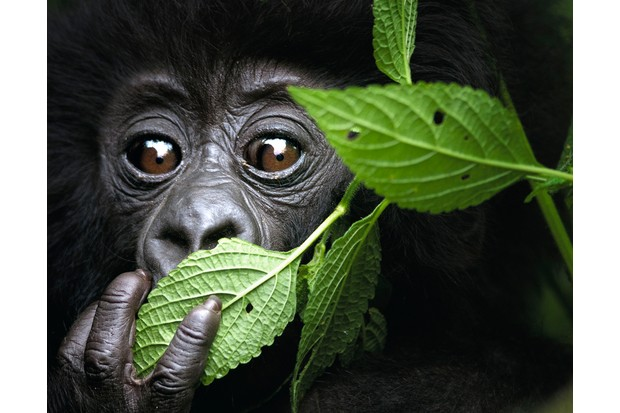 Baby mountain gorilla in north west Rwanda