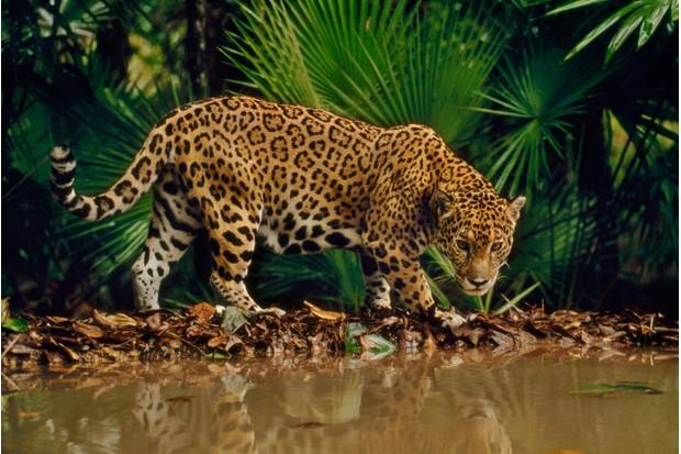 Jaguar at water hole (Panthera onca), Belize