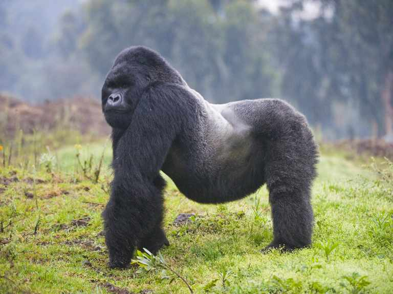 Gorilla Guide Where They Live Diet And Conservation Discover Wildlife