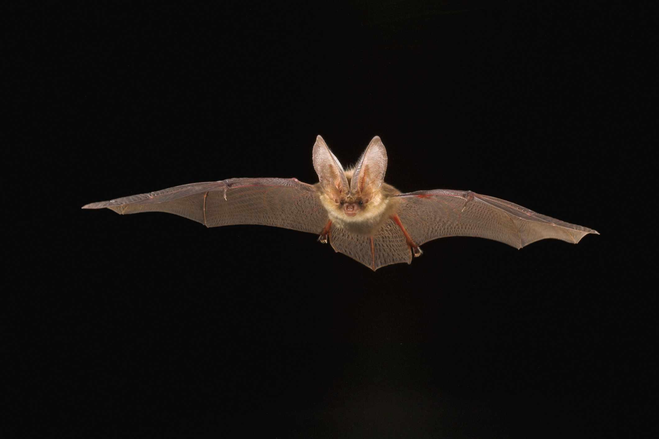 Brown long-eared bat. © Yves Adams/Getty