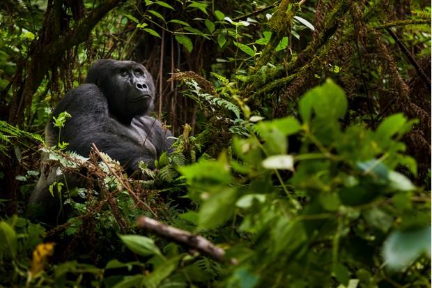 Adult mountain gorilla in Volcanoes National Park, Rwanda