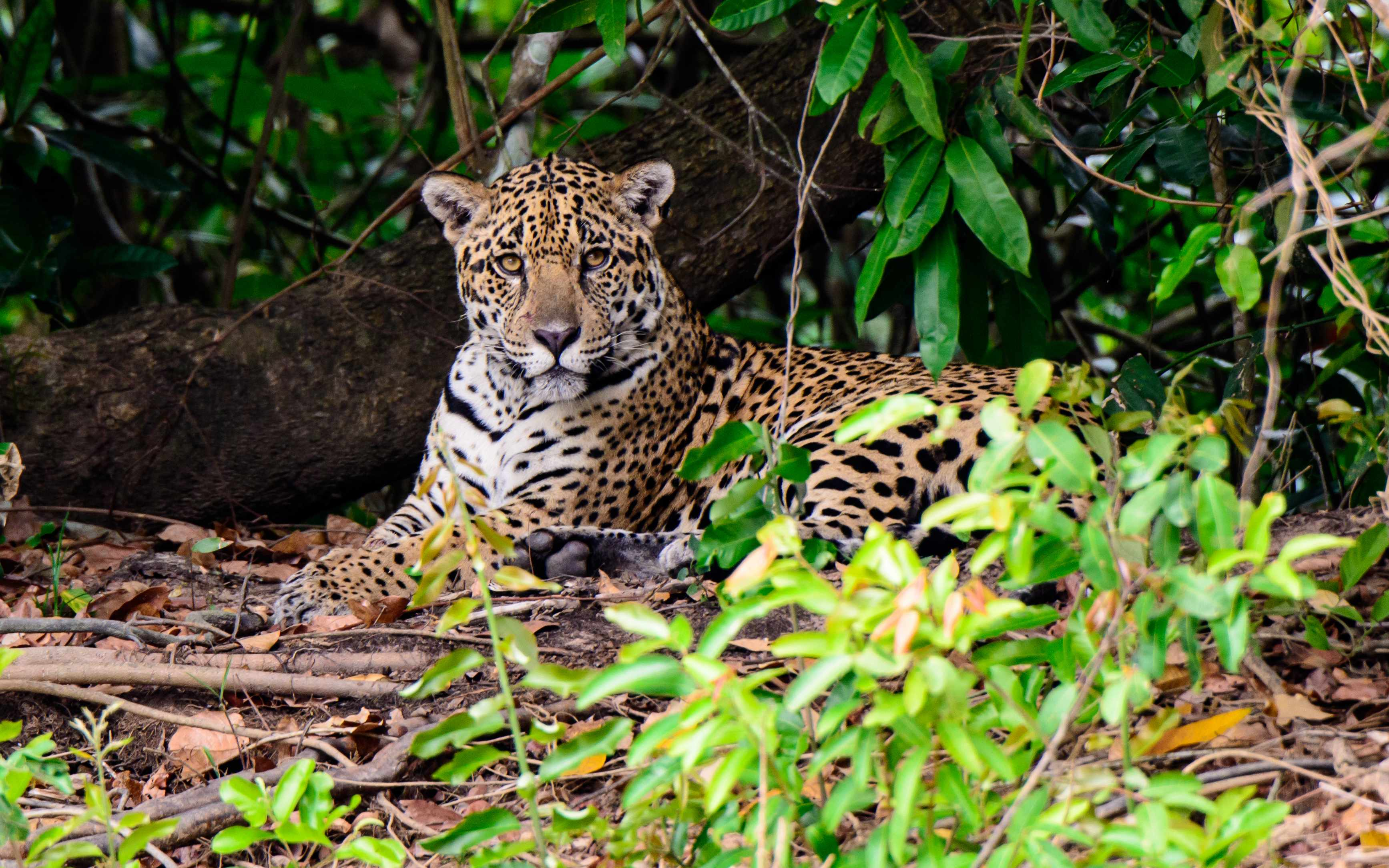 Adult jaguar on the edge of a river in the rainforest