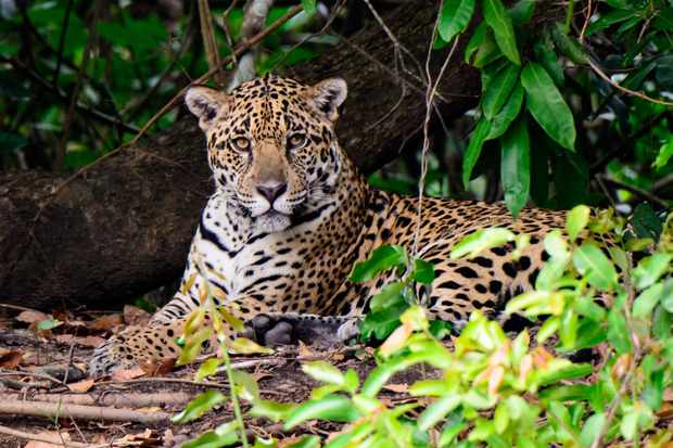 What Do Jaguars Eat >> 10 Amazing Jaguar Facts Facts About Jaguars Discover Wildlife