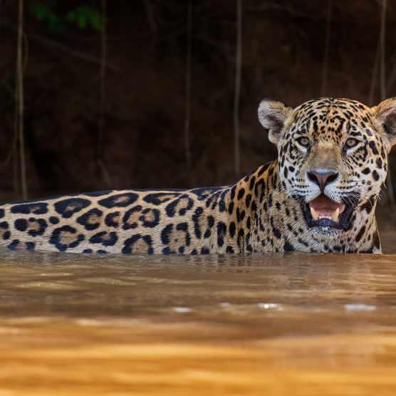Jaguar in water, Pantanal, Brazil