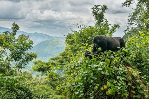 Mountain Gorilla (Gorilla beringei beringei) in its forest habitat, Bwindi Impenetrable National Park, Uganda, Africa