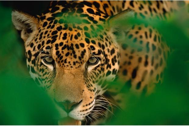 Young male jaguar (Panthera onca) staring through the jungle foliage