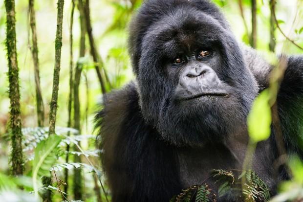 Portrait of a silverback gorilla in Virunga National Park, Rwanda