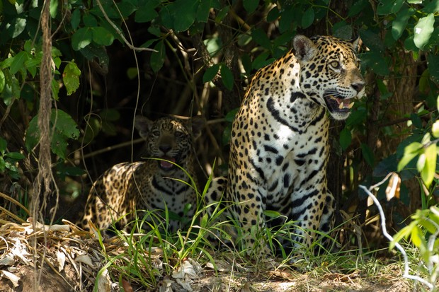 Baby jaguar in the shadows with its mother on a river bank in Brazil