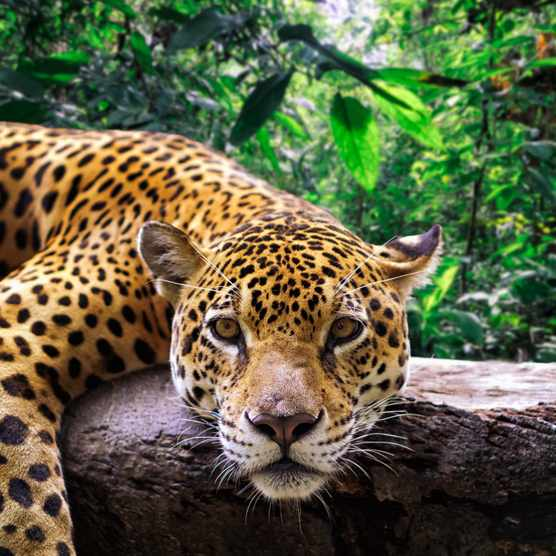 Close-up of a jaguar resting on a branch in the Peruvian jungle