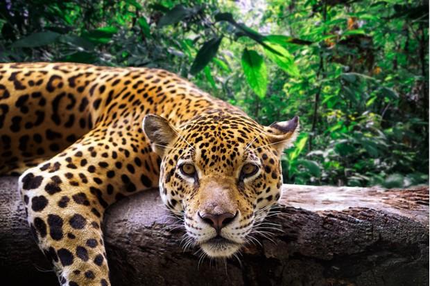 Close-up of a jaguar resting on a branch in the Peruvian jungle