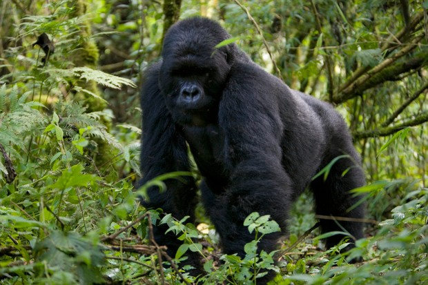 Silverback mountain gorilla (Gorilla gorilla beringei) knuckle walking through the forest in Rwanda