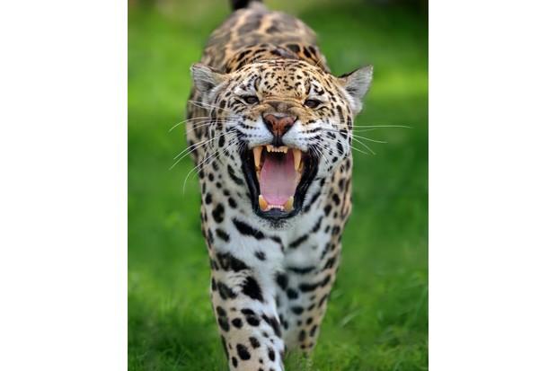 Close-up of a roaring jaguar (panthera onca) running towards viewer