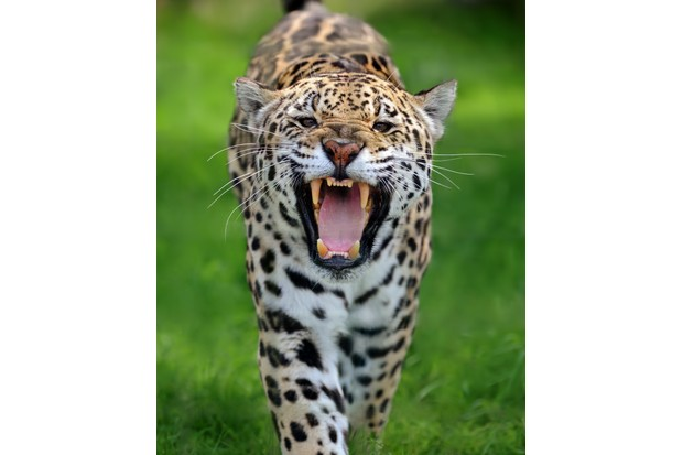 why can only big cats roar discover wildlife