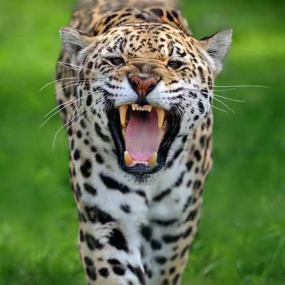 Jaguar Wild Animal