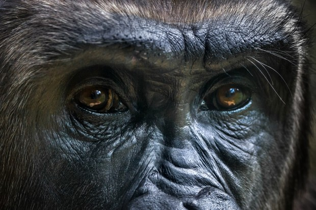 Close up portrait of a gorilla's eyes