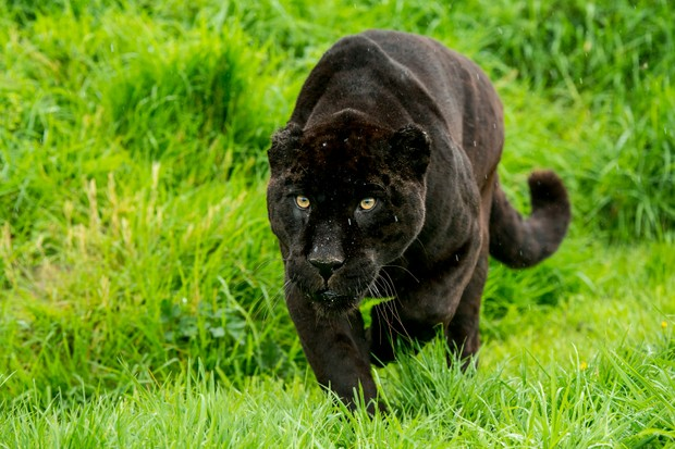 10 amazing jaguar facts | Facts about jaguars - Discover