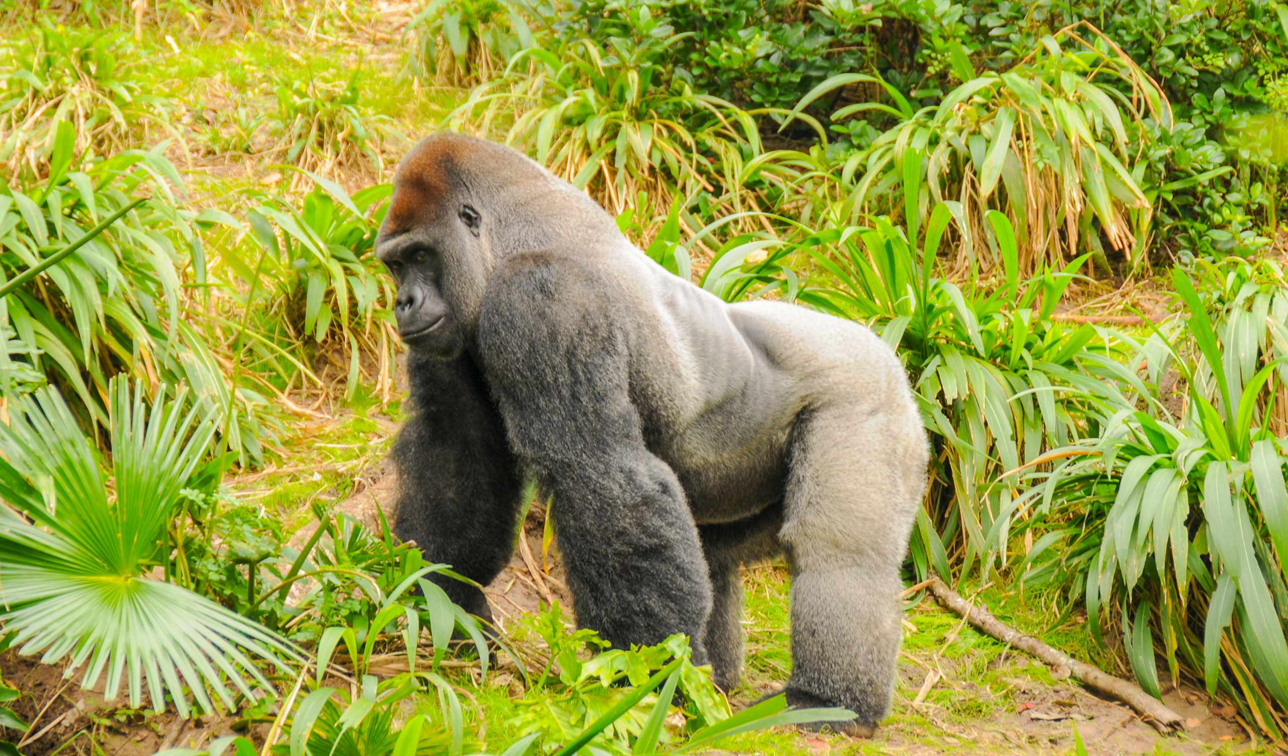 View of a Silverback (mature male) lowland gorilla © Elliot Hurwitt / Getty