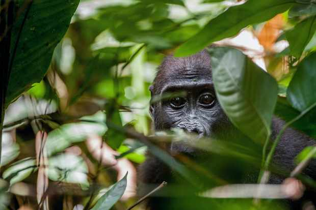 A young western lowland gorilla in Central African Republic © USO / Getty