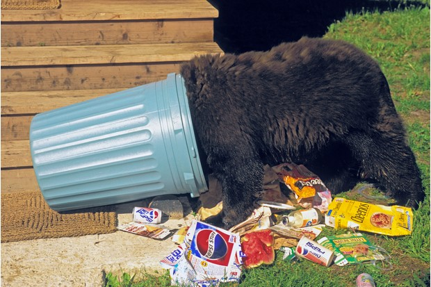 Black bear raiding house garbage. Summer. Rocky Mountains. Ursus americanus.