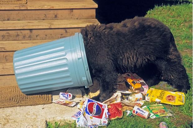 Black bear raiding house garbage. Summer. Rocky Mountains. Ursus americanus.