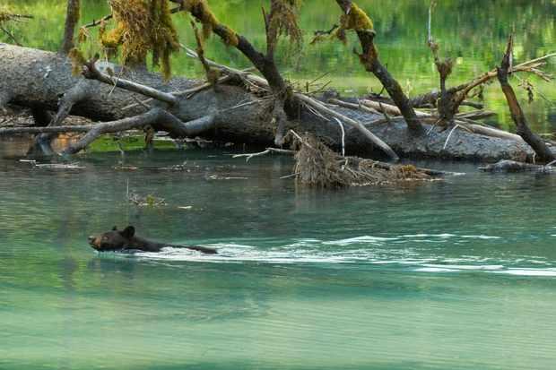 Black bear (Ursus americanus) swimming in Tongass National Forest, Alaska