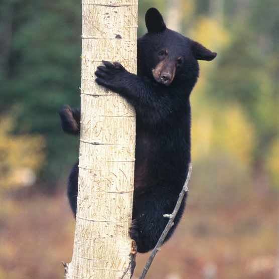 A black bear cub clinging to a tree trunk in Ontario