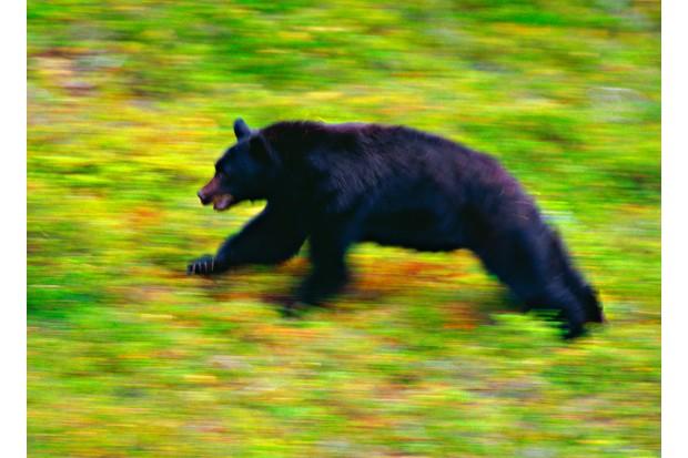 Black bear (Ursus americanus) running