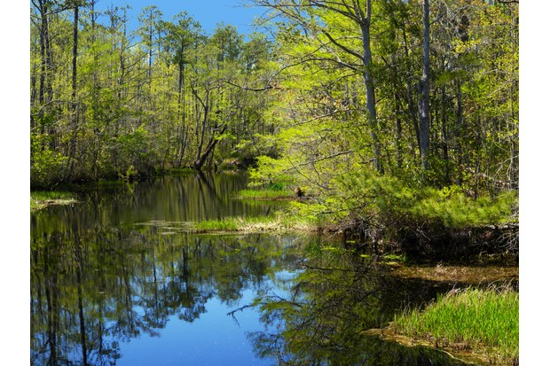 Still water reflecting the forest trees under a blue sky in Alligator River National Wildlife Refuge