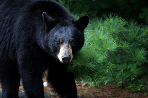Female black bear in Ontario, Canada