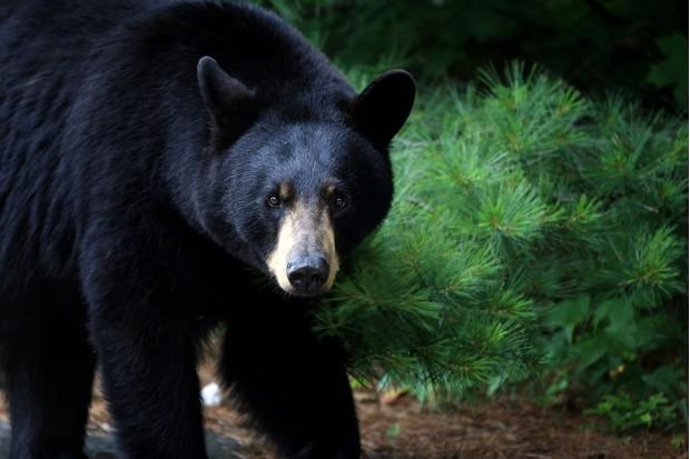 Female black bear in Ontario, Canada