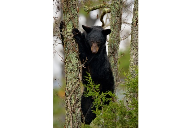 Black bear (Ursus americanus) cub descending tree in Great Smoky Mountains National Park, Tennessee, USA