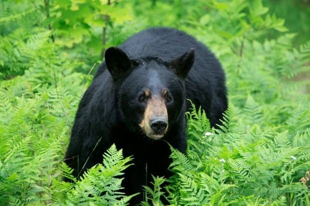 Black bear in high ferns and vegetation