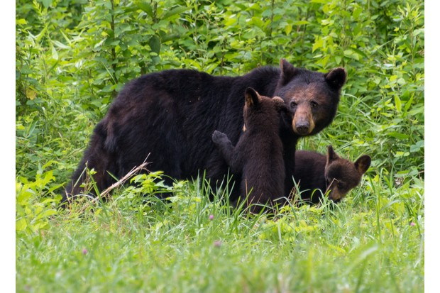 Female black bear and cubs