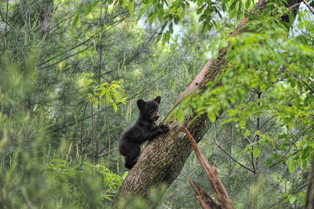 Black bear cub climbing tree trunk