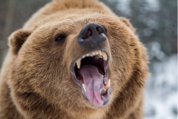 Grizzly bear roaring in forest