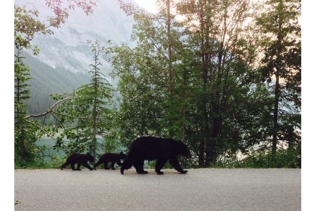 A mama black bear and her two cubs walk on the road near a lake in the Canadian Rocky Mountains in Jasper, Alberta